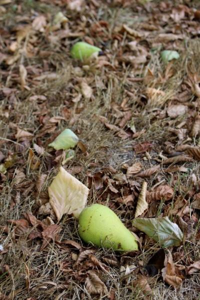 IMG_7815 A 落ちている梨