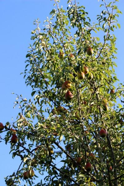 IMG_7665 B 大木の梨の木